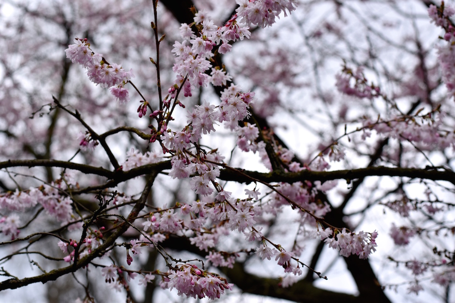 Kirsikan kukat 3