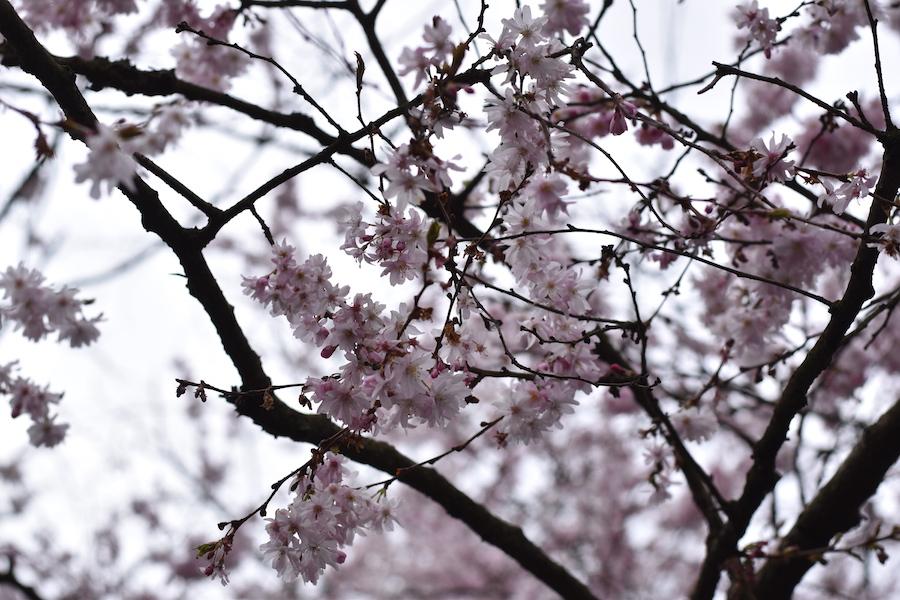 Kirsikan kukat 5