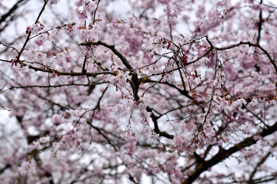 Kirsikan kukat 4